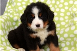 Picture of Oliver / Bernese Mountain Dog