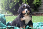Picture of Wally / Bernese Mountain Dog