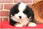 Picture of Marcus / Bernese Mountain Dog