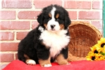 Picture of Matty / Bernese Mountain Dog