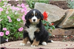 Picture of Rosa / Bernese Mountain Dog
