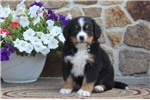 Picture of Grant / Bernese Mountain Dog