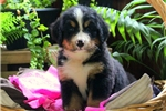Picture of Sweden / Bernese Mountain Dog