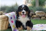 Picture of Evan / Bernese Mountain Dog