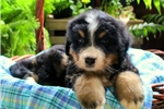 Picture of Hudson / Bernese Mountain Dog