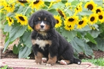 Picture of Billy / Bernese Mountain Dog