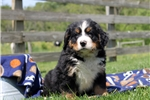 Picture of Duncan / Bernese Mountain Dog