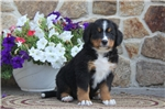 Picture of Greg / Bernese Mountain Dog