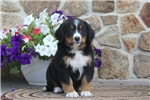 Picture of Ginny / Bernese Mountain Dog