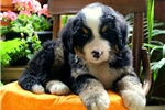Picture of Kingston / Bernese Mountain Dog
