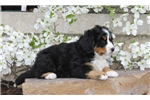 Picture of Chip / Bernese Mountain Dog