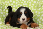 Picture of Orris / Bernese Mountain Dog