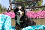 Picture of Phillip / Bernese Mountain Dog