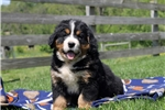 Picture of Dixie / Bernese Mountain Dog
