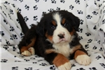 Picture of Olivia / Bernese Mountain Dog