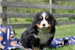 Picture of Dexter / Bernese Mountain Dog