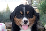 Picture of Edgar / Bernese Mountain Dog