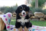 Picture of Ella / Bernese Mountain Dog