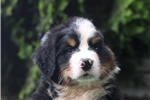 Picture of Waylon / Bernese Mountain Dog