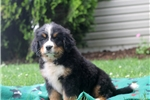 Picture of Wynonna / Bernese Mountain Dog