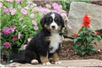 Picture of Rocky / Bernese Mountain Dog