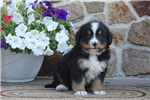 Picture of Gavin / Bernese Mountain Dog