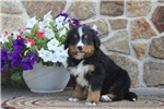 Picture of Gary / Bernese Mountain Dog