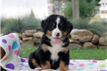 Picture of Eugene / Bernese Mountain Dog