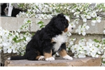 Picture of Chance / Bernese Mountain Dog