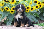 Picture of Tammy / Bernese Mountain Dog