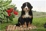 Picture of Cuddles / Bernese Mountain Dog