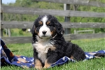 Picture of Dolly / Bernese Mountain Dog