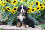Picture of Trixie / Bernese Mountain Dog