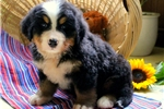Picture of London / Bernese Mountain Dog