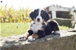 Picture of Hattie / Bernese Mountain Dog