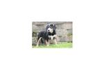 Picture of Bertie - Entlebucher Mountain Dog Female