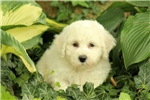 Picture of Rugby / Bichon Frise