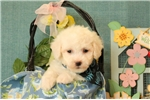Picture of Wesley / Bichon Frise