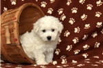 Picture of Roscoe / Bichon Frise