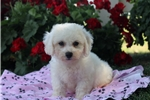 Picture of Shawn / Bichon Frise