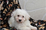 Picture of Mo / Bichon Frise