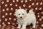 Picture of Pippin / Bichon Frise