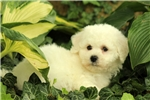 Picture of Ramsy / Bichon Frise