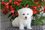 Picture of Kenny / Bichon Frise