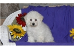 Picture of Zeus / Bichon Frise