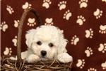 Picture of Remmy / Bichon Frise