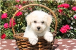 Picture of Ginger / Bichon Frise
