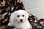 Picture of Maurie / Bichon Frise