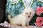 Picture of Keith / Bichon Frise