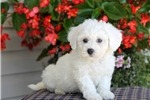 Picture of Kaylee / Bichon Frise